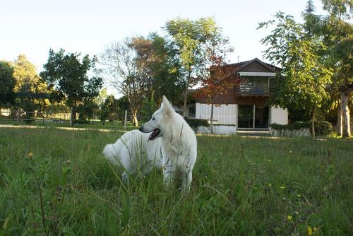 pastor blanco suizo -  la mejor crianza en chile