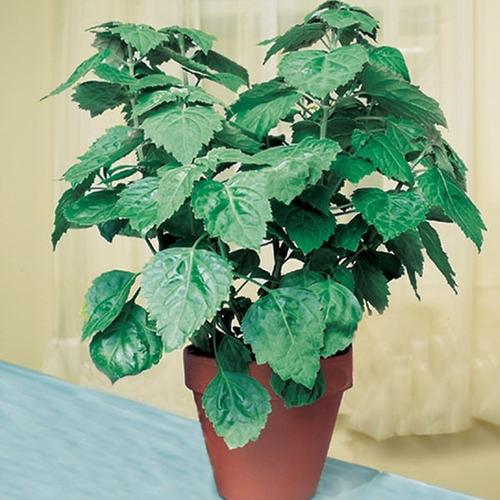 patchouli de java - oriza - pogostemon sementes frete grátis