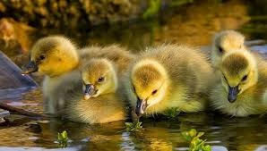 patos chilenos(70000 la pareja)