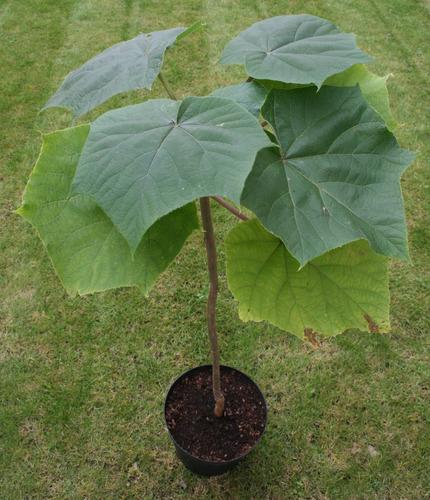 paulownia elongata kiri cresce 4 metros p/ano - 100 sementes