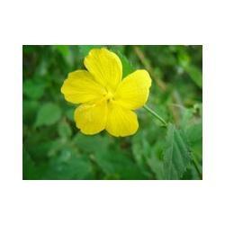 pavonia sepium - pavonia - malvavisco - malva de bosque