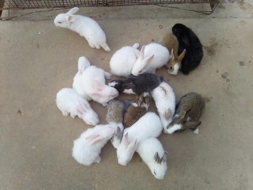 pdf conejos para pie de cria y mascotas de excelente genetic