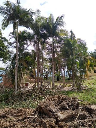 pé de coqueiro