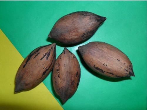 Pec n nogal nueces c scara blanda rbol frutal y sombra 450 00 en mercado libre - Cascara nueces para decorar ...