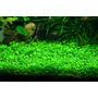 Glossostigma Elatinoides Tapizante Plantas Acuáticas Peces