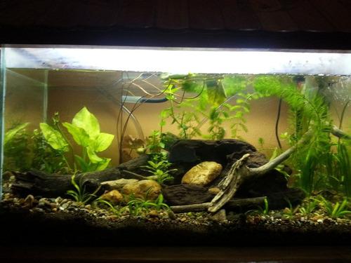 peceras plantadas . plantas para peceras peces