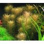 Rotala Vietnam Plantas Acuáticas Peces Acuario