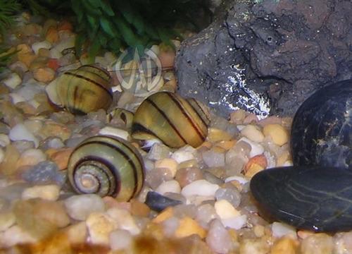 peces caracol asolene spixi. realmente bonitos