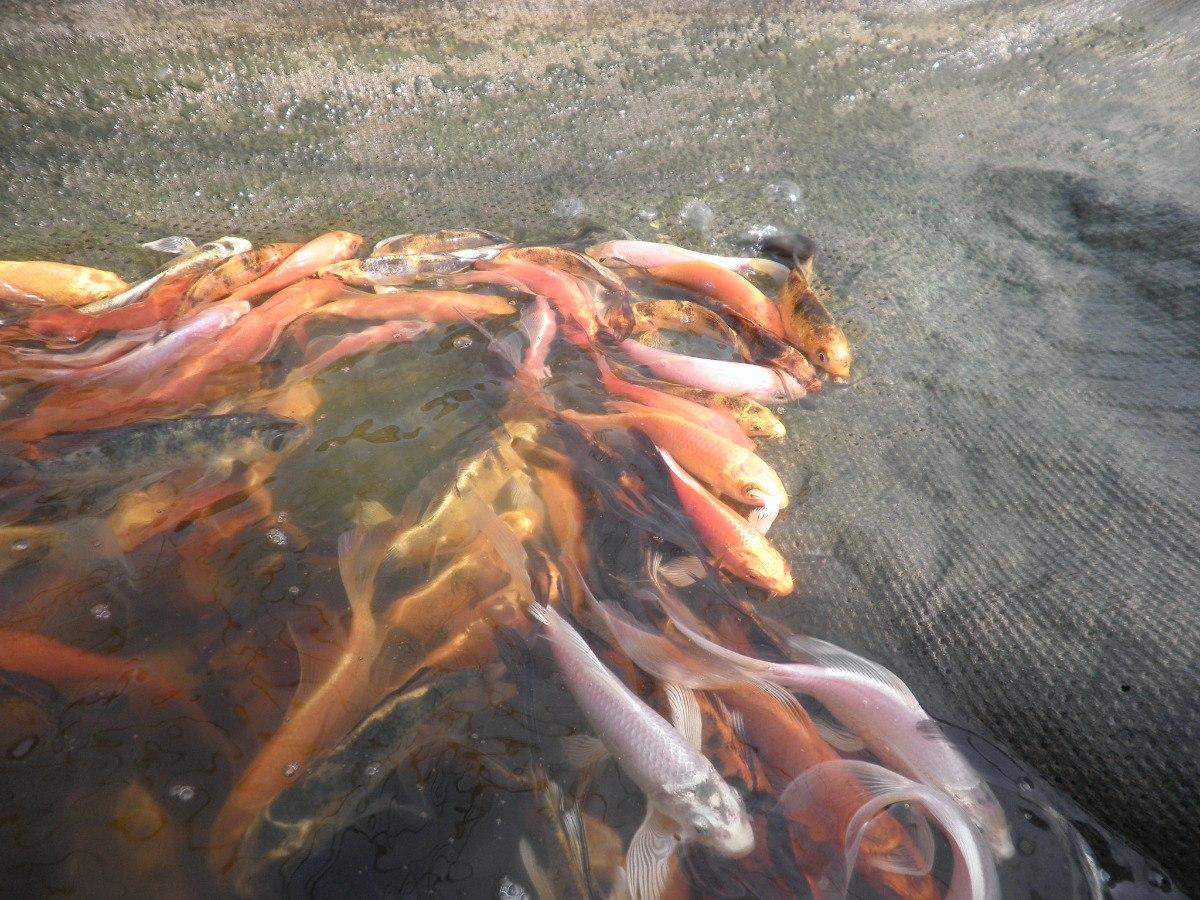 Peces carpa koi medianitos para estanque en - Peces para estanque ...
