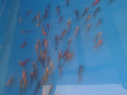 peces carpas koi, cometas, shubunkin o watenai 9 cm