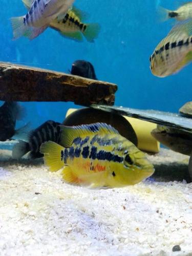 peces ciclidos americanos y africanos