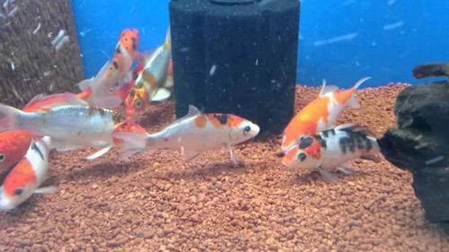 peces de agua fria carassius pom pom 14 a 15cm.