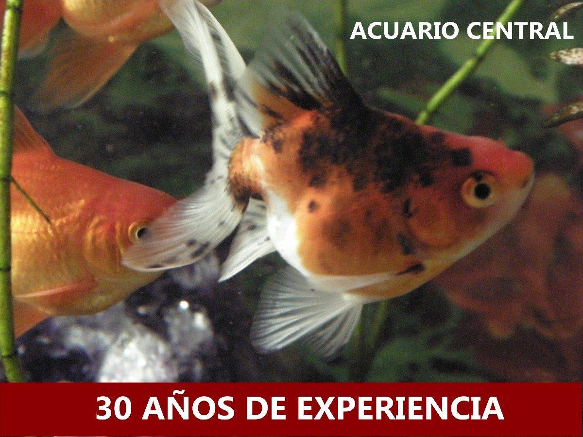 Peces de agua fr a carisiuss calicos 150 00 en mercado for Alimentacion para peces de agua fria