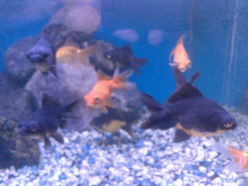 peces de agua fria. telescopicos.  7.5 cm. excelentes sarab