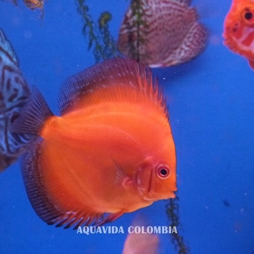 peces disco. red melon, turqueza, panda (2-4 cm)