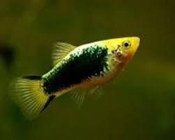 peces economicos (paquete de 5)