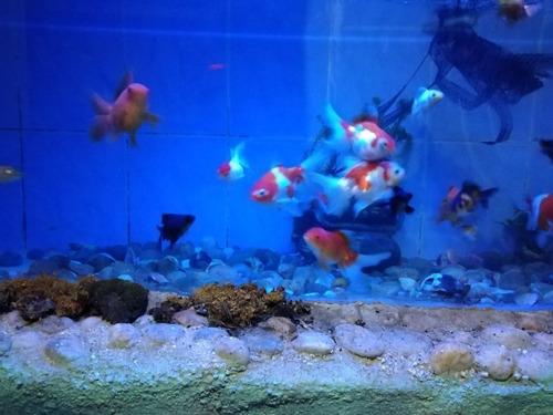 peces goldfish, cabeza de león, coy, telescópicos, cometas