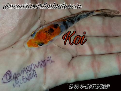 peces goldfish cometas, koi, shubunkin. mayor y detal. x6