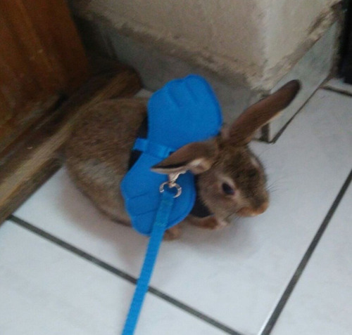 pechera arnes correa mascota perro gato conejo uron con alas