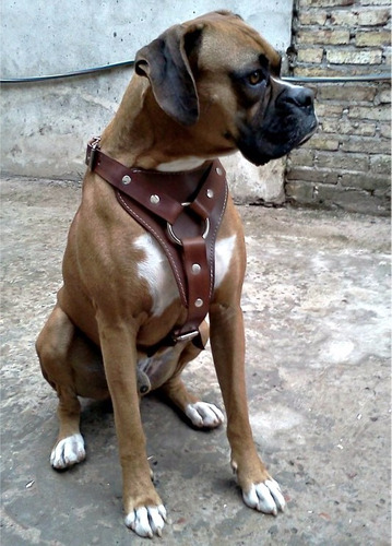 pechera de cuero perro pitbull boxer rottweiler pretal