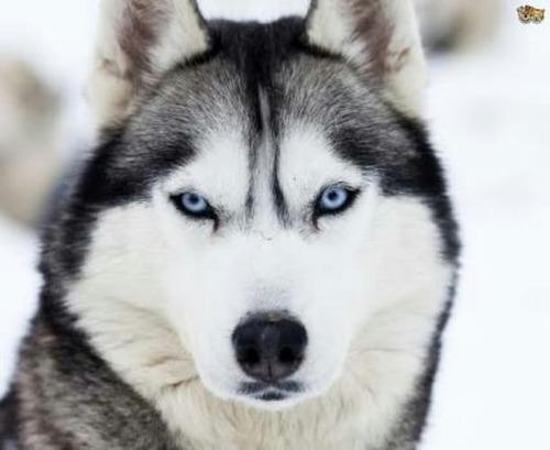 pechera para husky sin correa
