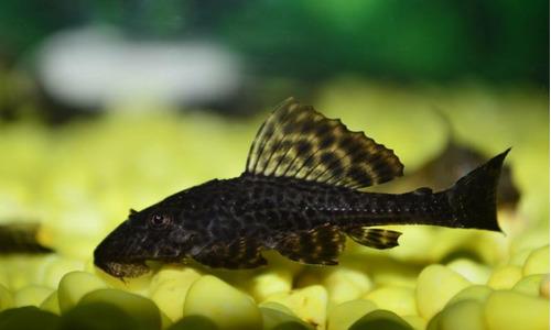 peclos (pez de fondo)