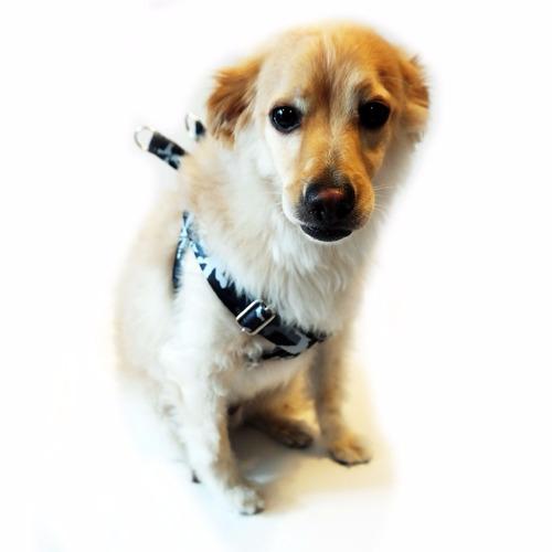 peitoral americano e guia para cães