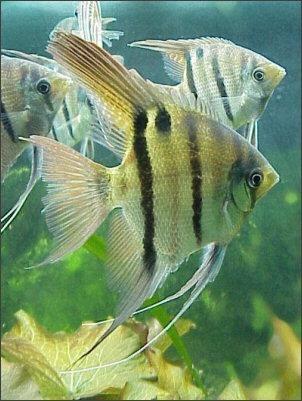peixe acará bandeira falso altum - 15cm
