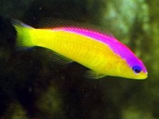 peixe marinho dottyback diadema (pseudochromis diadema) pq