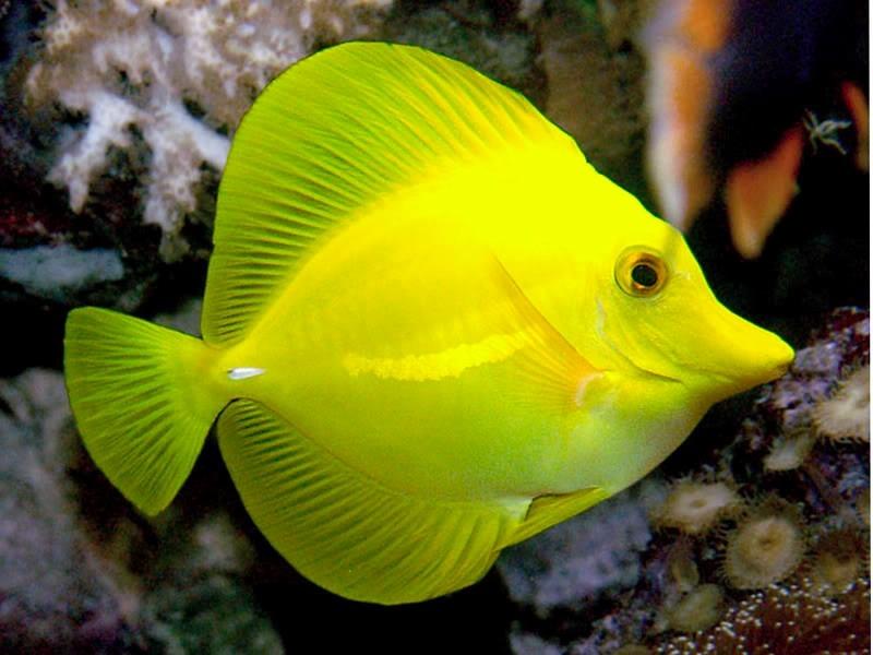 Peixe marinho yellow tang r 299 00 em mercado livre for Yellow tang fish