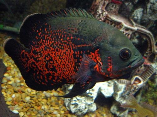 peixe oscar red tigre g - selvagem