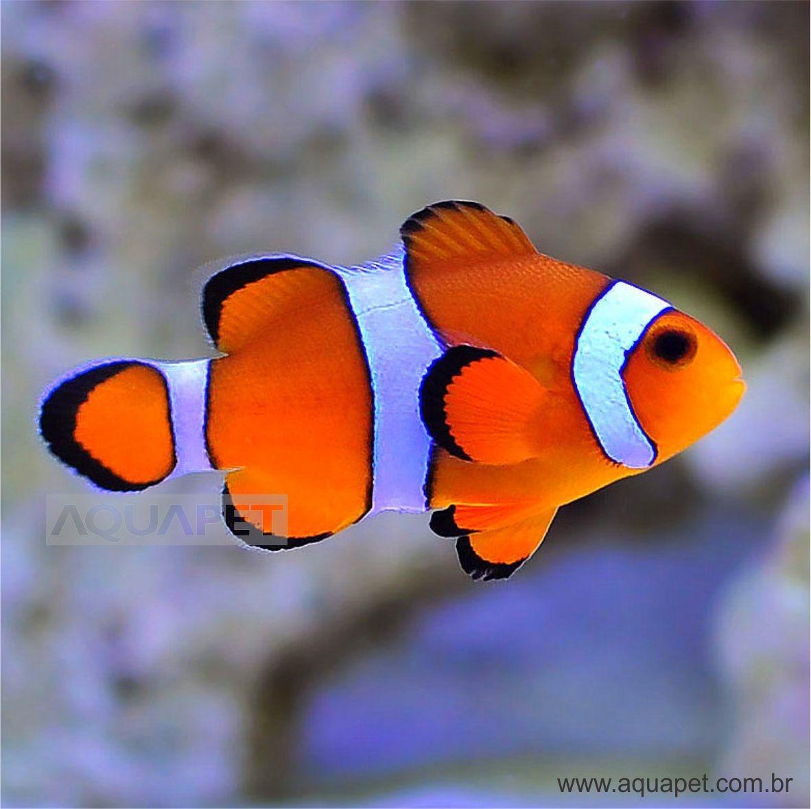Peixe Palhaço ( Amphiprion Ocellaris)