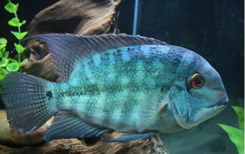 peixe papagaio verdadeiro