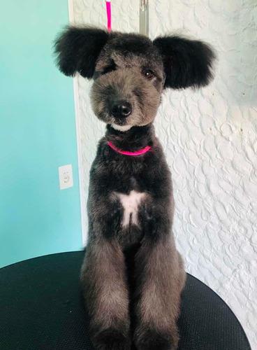 peluquería canina en parque batlle -no móvil / no domicilios