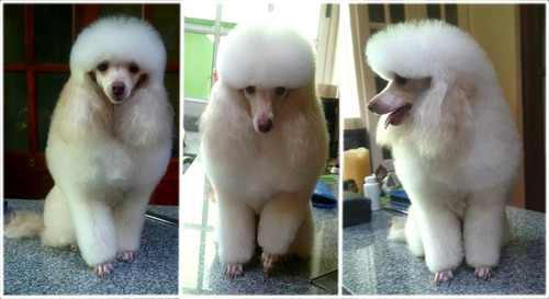 peluquería canina felina domicilio profesional leer anuncio