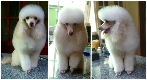 peluquería canina y felina a domicilio pensionados leer