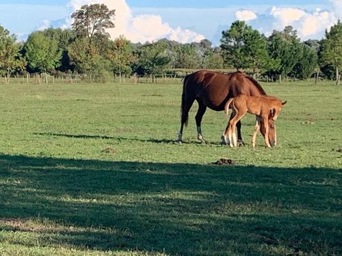 pensionado equino /  campo de pastoreo en los cardales