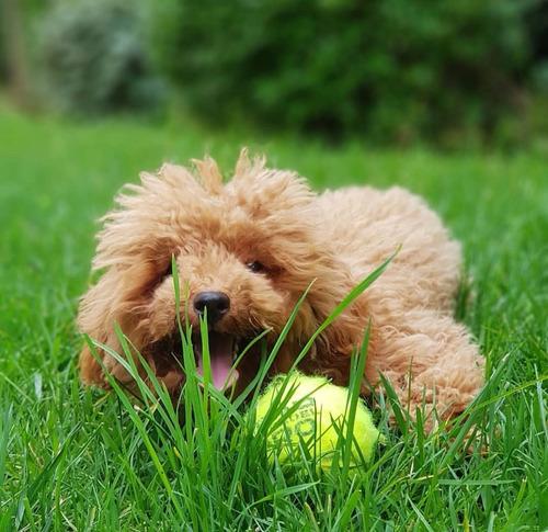 pequeñas poodle minitoy apricot