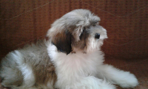 pequeno filhote macho lhasa apso