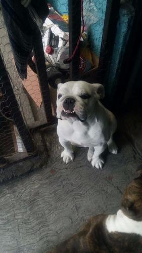 perra bulldog