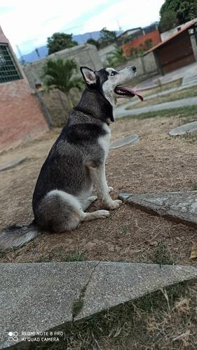 perra loba busca novio para la monta !