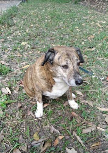 perra mestiza de bulldog inglés (gorda) en adopción