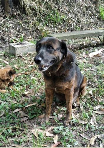perra mestiza de pastor holandés (niña) en adopción
