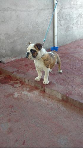 perrita bulldog ingles con 4 meses