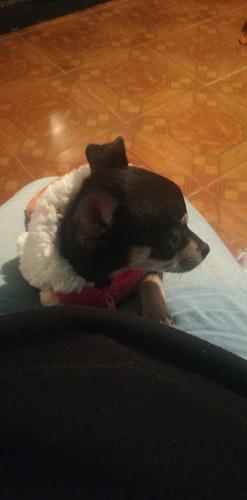 perrita chihuahua cabeza de manzana, dos meses ya vacunada