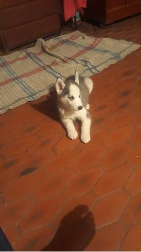 perrita husky