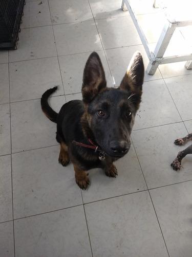 perrita pastor alemán 5 meses
