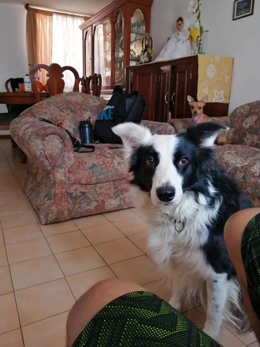 perrito border collie para cruza