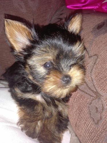 perrito macho yorkshire terrier