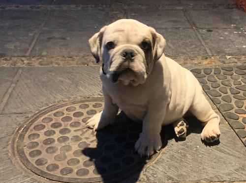 perrito muy bonito bulldog ingles